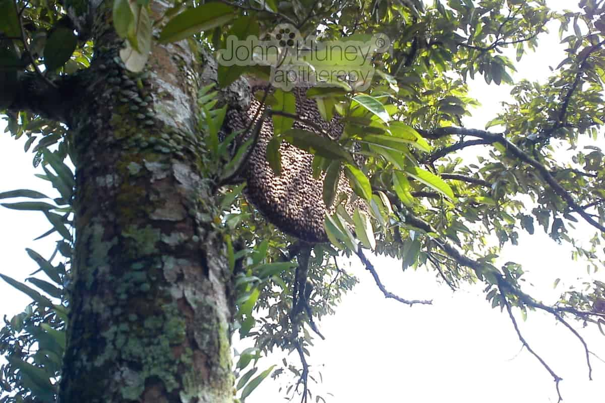 Honey Bee Hive at Tualang Tree